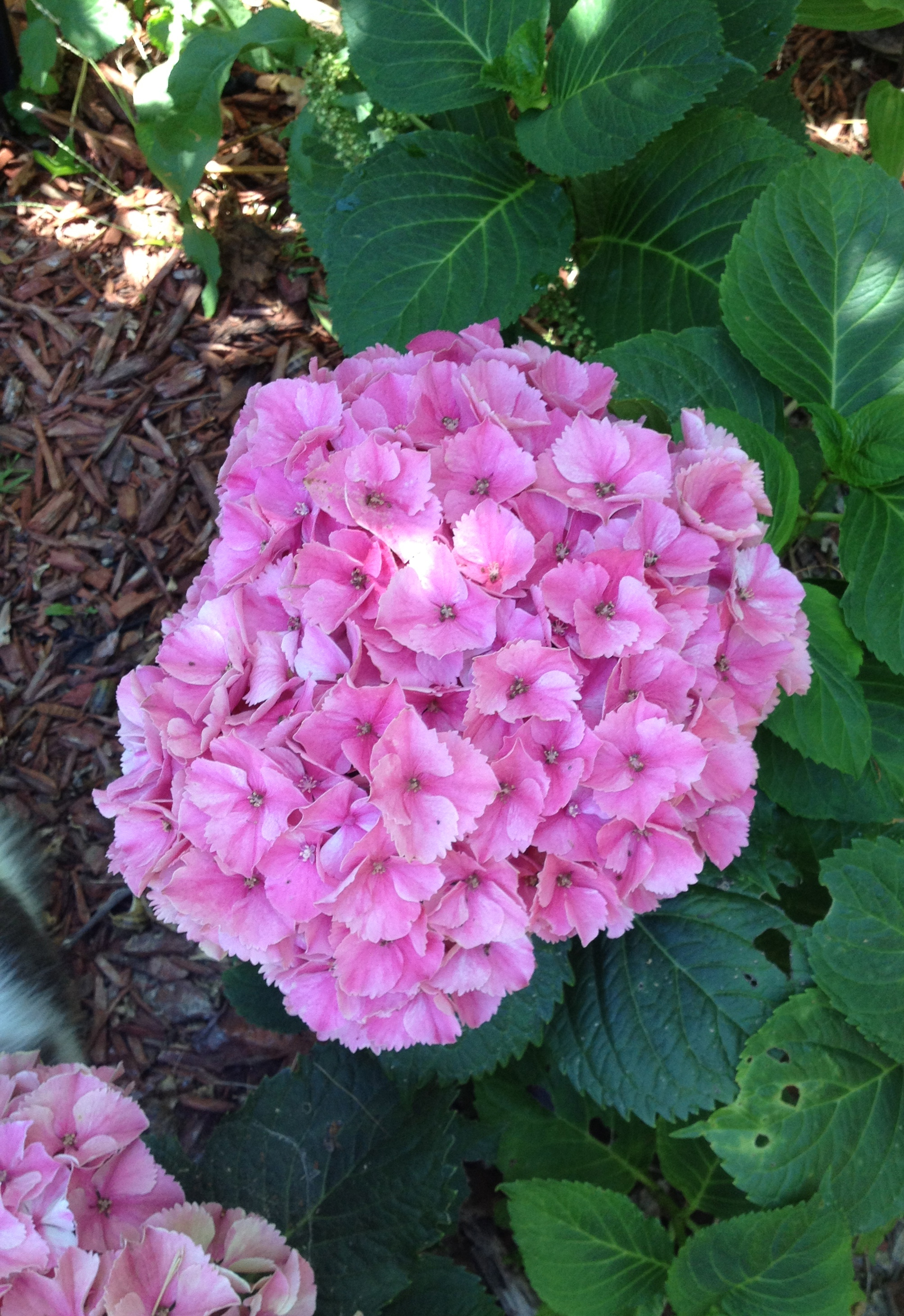how to cut back hydrangea bushes