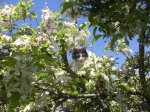 My cat Sharkey in the apple tree