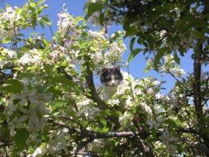 My cat Sharkey in the apple tree