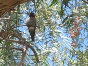 Humminggird