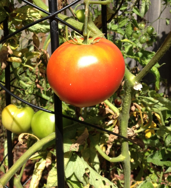 Early Girl Tomato